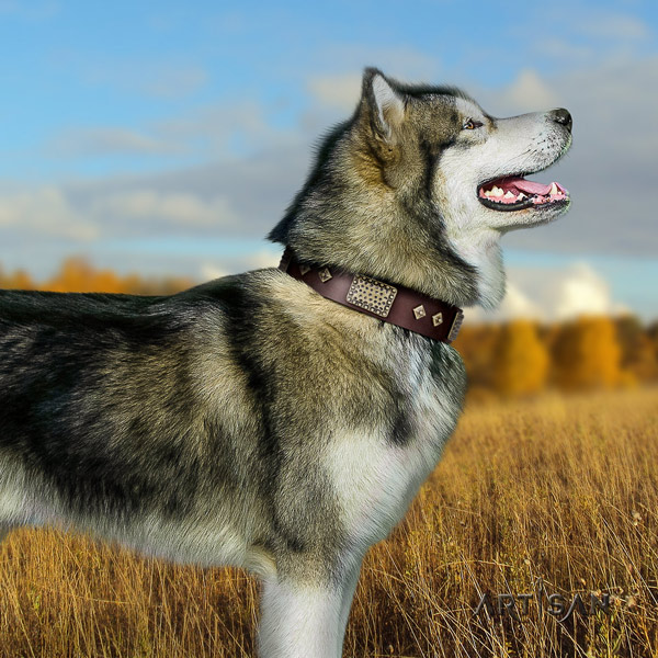 Malamute significant studded full grain leather dog collar for daily walking