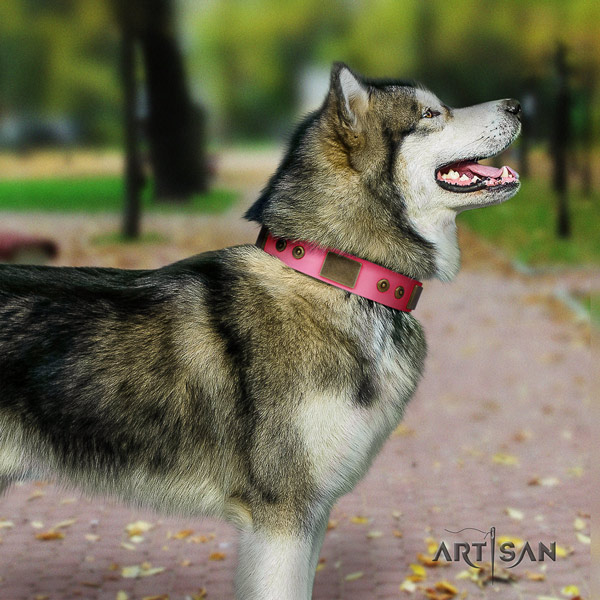 Malamute exceptional studded full grain leather dog collar for daily use