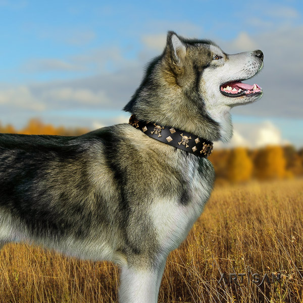 Malamute fashionable adorned leather dog collar for walking