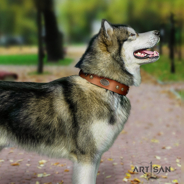 Malamute significant studded full grain natural leather dog collar for walking