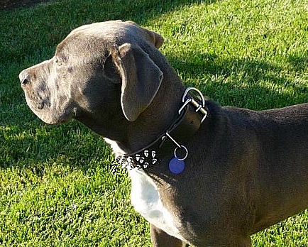 Extra durable leather dog collar